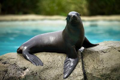 Captive Sea Lion