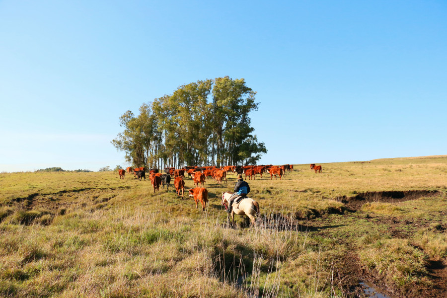 Juan herding his cattle back to their pasture. Photo Credit: Flora Hastings